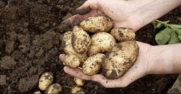 Potato-Patch-at-Cotswold-Farm-Park