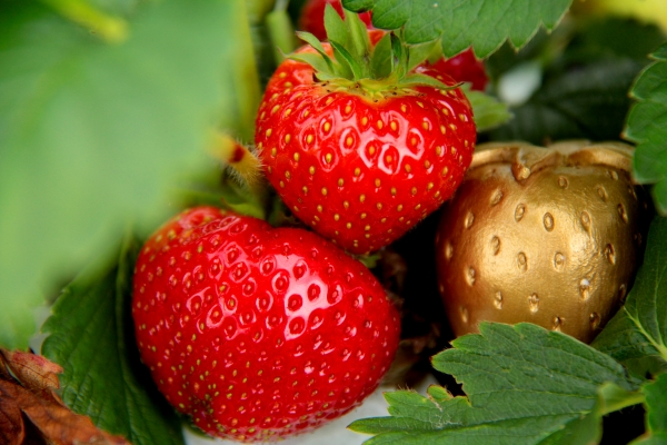 glos.info Over Farm Market Pick your own Strawberries Raspberries Win £100 in the Golden Sterawberry Competition