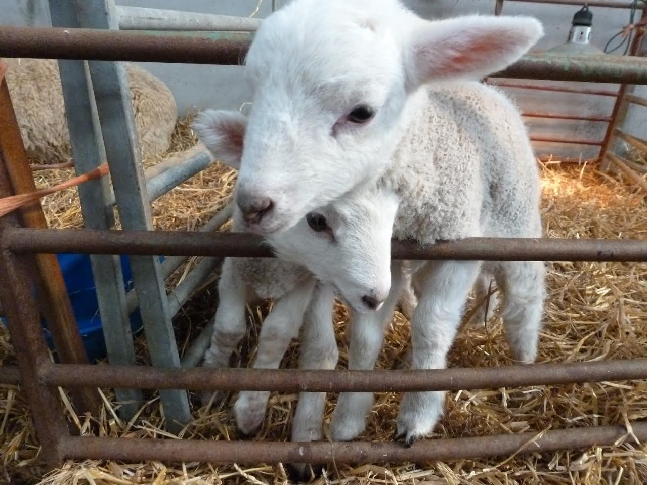 glos.info royal agricultural college lambing weekend