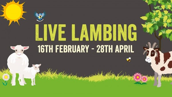Live Lambing