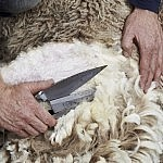 shearing2
