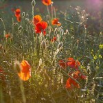 Poppies in a field - photo