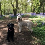 Bluebells and Dogs in Lassington Wood, Highnam