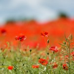 PHOTOS: Poppies near Charlton Abbots