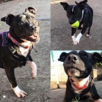 Ruby **FOSTER HOME NEEDED** - Gender: Female - Age: 7 years old - Breed: Staffordshire Bull Terrier