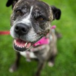Star - Age: 5 years - Gender: Female - Breed: Staffordshire Bull Terrier