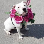 Beau - Age: 2 - Gender: Female - Breed: Staffordshire Bull Terrier