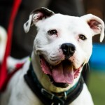 Poncho - Age: 3  - Gender: Male - Breed: American Bulldog Crossbreed - BREAKING NEWS