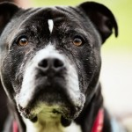 Buddy - Age: 7 - Gender: Male - Breed: Staffordshire Bull Terrier