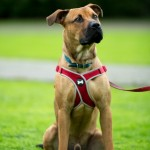 Tyson - Age: 9.5 Months - Gender: Male - Breed: Bull Mastiff X