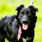 Shadow - Age: 8 Months - Gender: Female - Breed: Collie