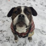 Bramble - Age: 2  - Gender: Female - Breed: Old Tyme Bulldog