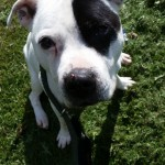 Patch **IN FOSTER CARE** - Age: 10 - Gender: Male - Breed: Staffordshire Bull Terrier Crossbreed - IN FOSTER CARE