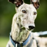 Molly - Age: 4 - Gender: Female - Breed: Greyhound