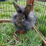 Mufasa - Age: 4 Months - Gender: Male - Breed: Lionhead Crossbreed