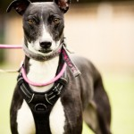 Lucy - Age: 2 - Gender: Female - Breed: Lurcher
