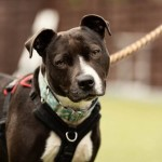 Poppy - Age: 6 - Gender: Female - Breed: SBT