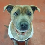 Bella - Age: 4 - Gender: Female - Breed: Staffordshire Bull Terrier