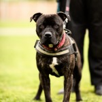 Moose - Age: 2 - Gender: Male - Breed: Staffordshire Bull Terrier X