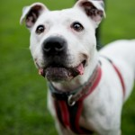 Scotty ** URGENT FOSTER HOME NEEDED** - Age: 4-6 years - Gender: Male - Breed: Staffordshire Bull Terrier