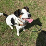 Zazu - Age: 3 - Gender: Male - Breed: Jack Russel Terrier