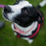 Jazmine - Age: 3 - Gender: Female - Breed: Collie x SBT