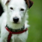 Elmo - Age: 5 - Gender: Male - Breed: JRT