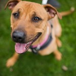 Bella - Age: 2 - Gender: Female - Breed: Rhodesian Ridgeback Crossbreed