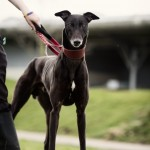 Tommy - Age: 3-4 - Gender: Male - Breed: Greyhound