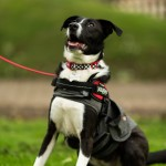 Leah - Age: 10 months - Gender: Female - Breed: Collie X