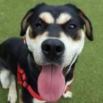 Poppy **IN FOSTER** - Age: 2 - Gender: Female - Breed: Rottweiler x Husky