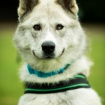 Shadow - Age: 18 Months - Gender: Male - Breed: Malamute Crossbreed