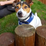 Tarzan - Age: 1.5 years - Gender: Male - Breed:JRT