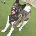 Rico - Age: 5 - Gender: Male - Breed: Akita