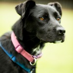 Gracie - Age: 4 - Gender: Female - Breed: Lab Crossbreed