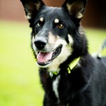 Oscar - Age: 5 - Gender: Male - Breed: Shepherd Crossbreed