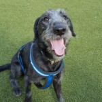 Hector - Age: 7 months - Gender: Male - Breed : Bedlington Whippet