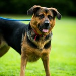Suzie - Age: 2 - Gender: Female - Breed: GSD X Rotti