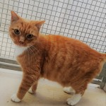 Sox - Gender : Male Age : 9 yrs Breed : Dsh