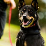 Buster - Age: 1 Year Old - Gender: Male - Breed: Kelpie Crossbreed