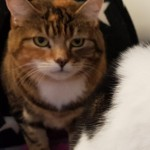 Cleo - Gender : Female Age : 10 yrs Breed : Dsh