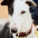 Ned - Age: 3-4 - Gender: Male - Breed: Greyhound