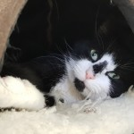Gilly - Gender : Male Age : 2yrs approx Breed : Dsh