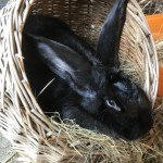 Bunilla - Age: 1/2 years - Gender: Female - Breed: Giant Rabbit