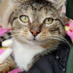 Giles - Gender : Male Age : 5 + yrs Breed : Dsh