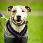Coco - Age:3 - Gender: Female - Breed: Staffordshire Bull Terrier