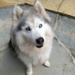 Lily - Age: 11 - Gender: Female - Breed: Huskamute