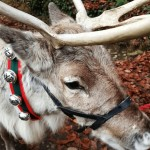Father Christmas and his reindeer at Daylesford: Cotswolds