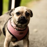 Sweetie - Age: 1 - Gender: Female - Breed: Pug X Chi