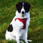 Remus - Age: 15 Months - Gender: Male - Breed: Romanian Shepherd Dog Crossbreed